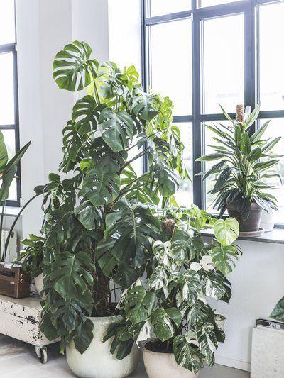 Monstera-plant-groen-wonen-botanisch-industrieel-interieur-planten-in-huis-interieur-stoere-plant-gatenplant