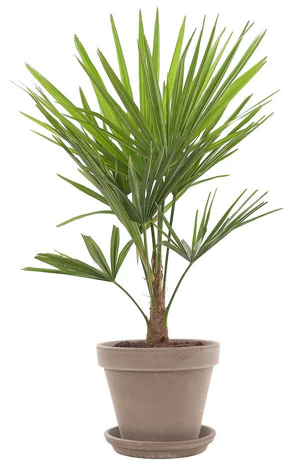 tuinpalmen palmboom tuin winterharde palm palm tuin palm winterhard tuinpalm tropische plant tropische boom