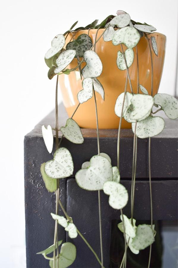 Zwarte-trolley-decoratie-chinees-lantaarnplantje-verzorgen-lantaarnplantje-stekken-planten-in-huis-hangplant-binnen-planten woonkamer-hangplant op kast 1