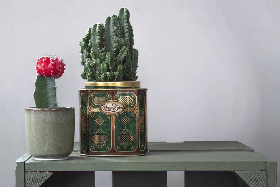 mini cactus groen interieur planten in huis cactus huisplanten kleine kamerplanten makkelijke kamperplanten planten woonkamer cactus gymnocalycium gymnocalycium mihanovichii tropische planten