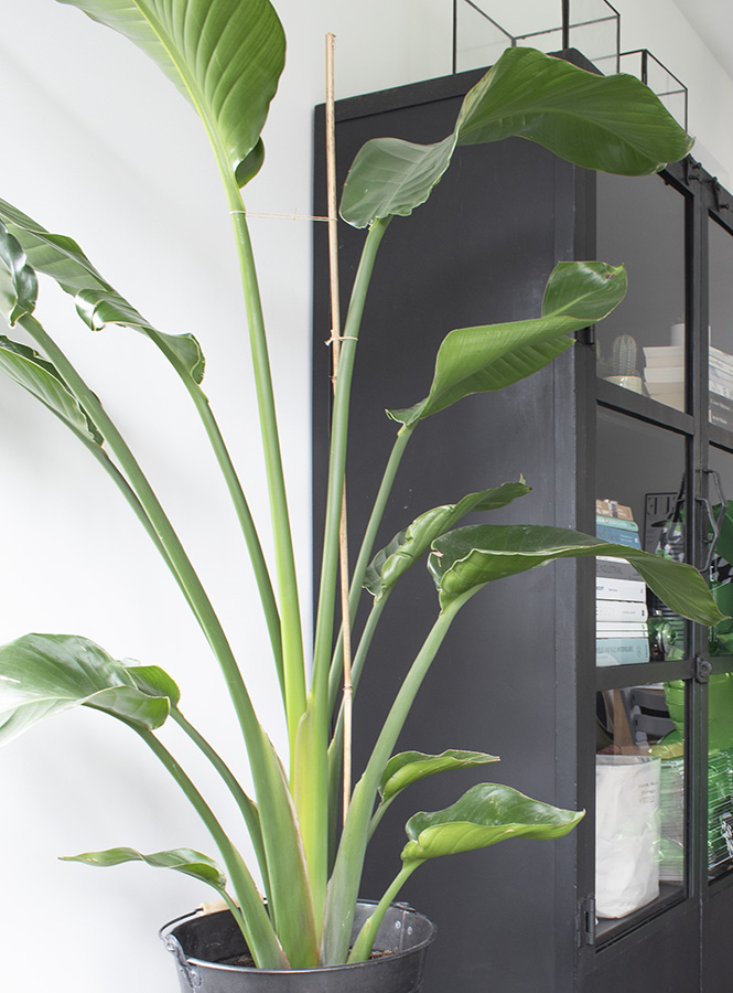 paradijsvogelplant verzorging strelitzia paradijsvogelplant strelitzia kamerplant paradijsvogelplant groot plant strelitzia nicolai huisplanten planten in huis groen in huis woonkamer planten hippe kamerplant veel planten in huis