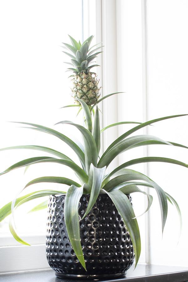 ananasplant kamerplanten ananas plant planten in huis bijzondere kamerplanten groene plant tropische plant huiskamerplant kleine planten huisplanten hippe kamerplant