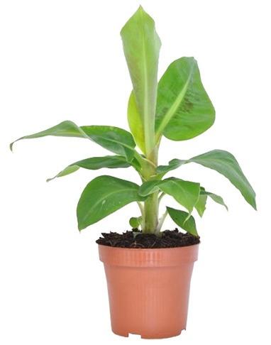planten water geven groen in huis planten in huis planten verzorgen bananenplant verzorgen monstera verzorging aloe vera verzorgen strelitzia nicolai verzorging cactus water geven pannenkoekplant verzorgen kamerplanten verzorgen yucca verzorging