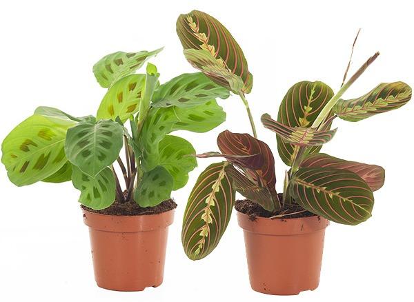 plant van het jaar plant 2021 maranta maranta leuconeura calathea maranta tiengebodenplant gebedsplant plant maranta kamerplant hippe kamerplanten binnenplant