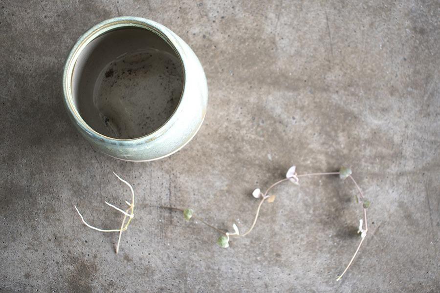 chinees lantaarnplantje stekken lantaarnplantje stekken string of hearts stekken stekken lantaarnplantje lantaarn plant stekken chinees lantaarnplantje stekken in water planten stekken stekjes binnenplanten planten in huis groen wonen