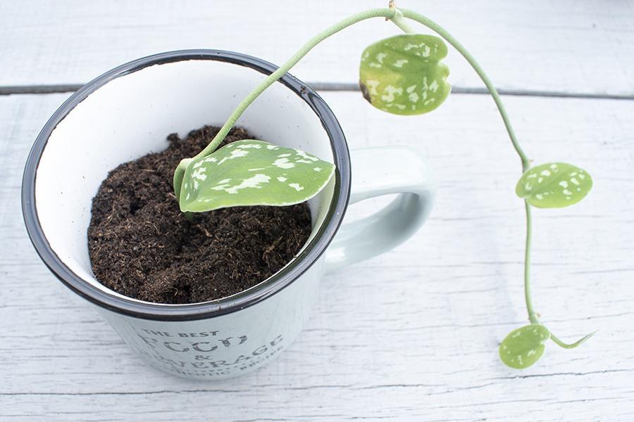 Scindapsus Pictus scindapsus hangplant hangplant scindapsus plant scindapsus plantje stekken stekjes stekken planten stekken stekken van planten plantjes stekken hangplant stekken stek je plant welke planten makkelijk stekken planten stekken op water wat is stekken kamerplant stekken